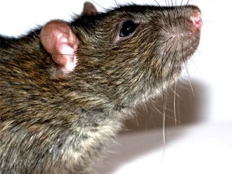 Горожане откормили уток на радость крысам