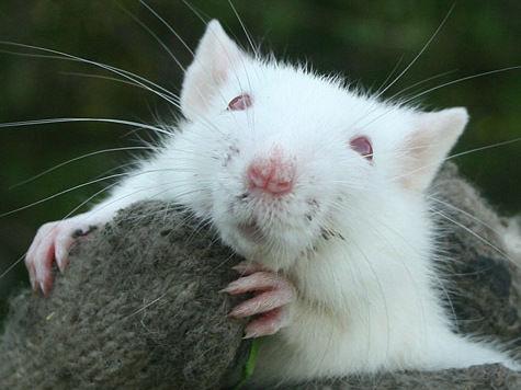 Мышам внедрили воспоминание об ужасе