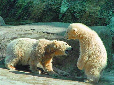Полярные медвежата ревнуют мамаш к обеду