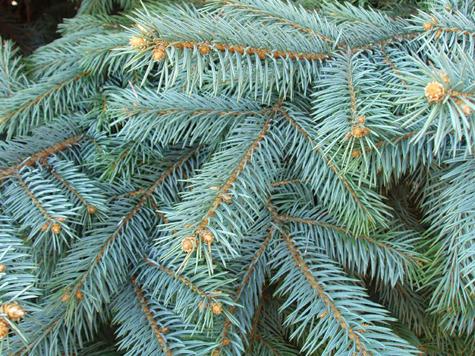 Иголки привели к елкам