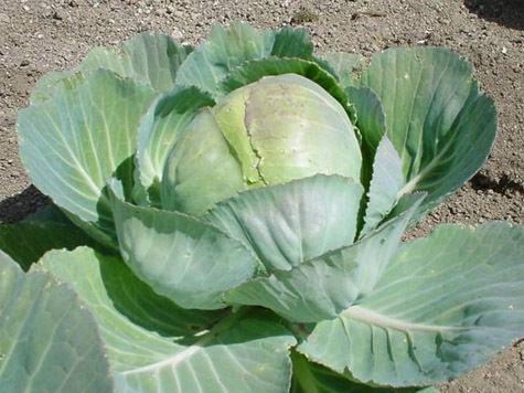 Арестанты станут добывать витамин из капусты