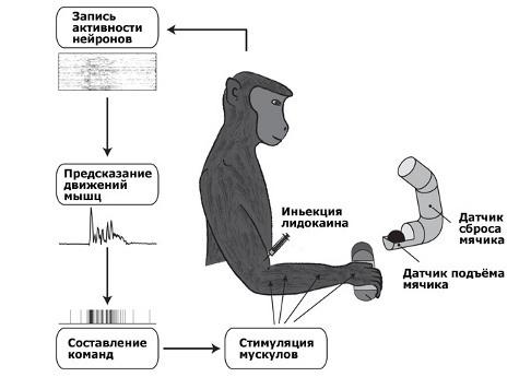 Изобретена технология, которая позволяет мозгу напрямую управлять мышцами конечностей