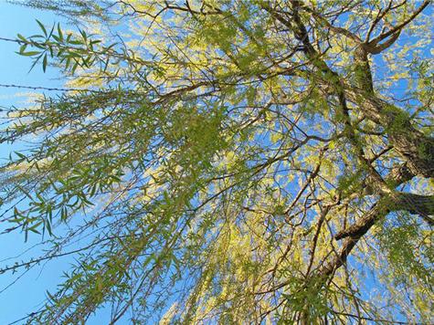 Чиновники пересчитают столичные деревья