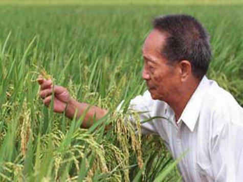 Китайцы вывели гибридный рис, который дает рекордную урожайность