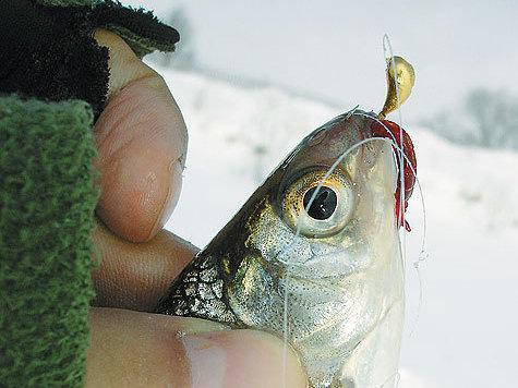 Зимняя окуневая ловля на чертика и козу - Ловим рыбу.