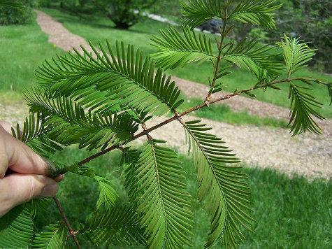 Русские ученые первыми смогли расшифровать ДНК самого древнего дерева на Земле