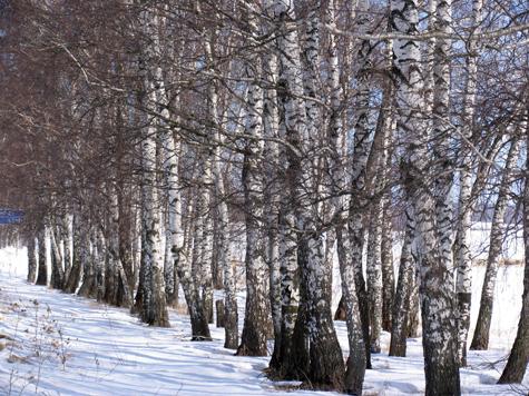 Короеды осилили целый лес