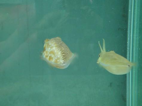 Самка каракатицы и пока не переоблачившийся в самку самец