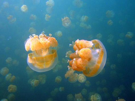 Новая угроза миру: медузы завоевывают нашу планету!