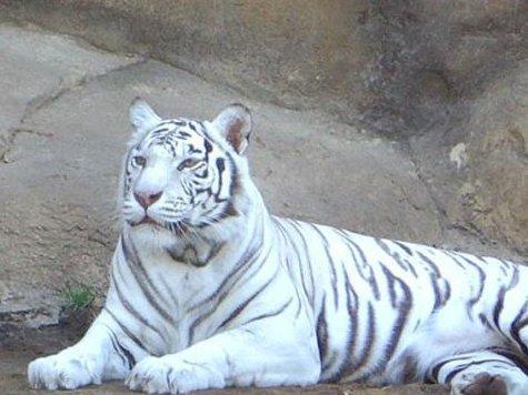 Тигрица открыла охоту на посетителей зоопарка