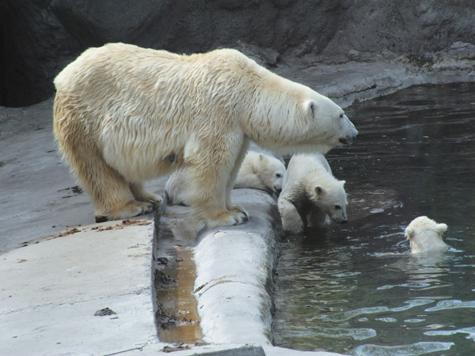 Медвежат в зоопарке записали в школу плавания