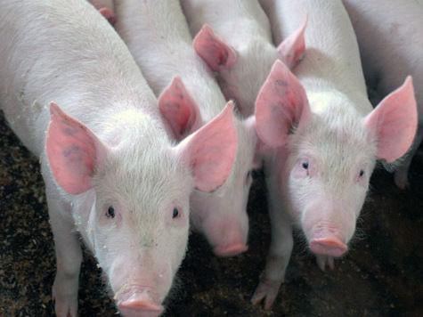 В подмосковном совхозе выявлена чума свиней: возможно вирус занесли птицы