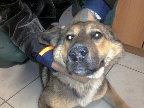 Ветеринары спасли разрубленного пополам щенка