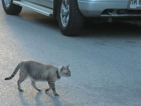 Кошка заманила малыша под колеса автомобиля