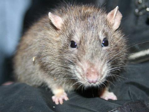 Выбираем в друзья... крысу