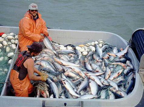 Вылов лосося в Камчатском крае составил более 38 тыс. тонн