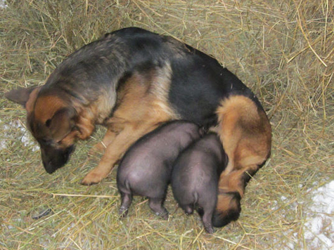 Овчарка поступила по-свински