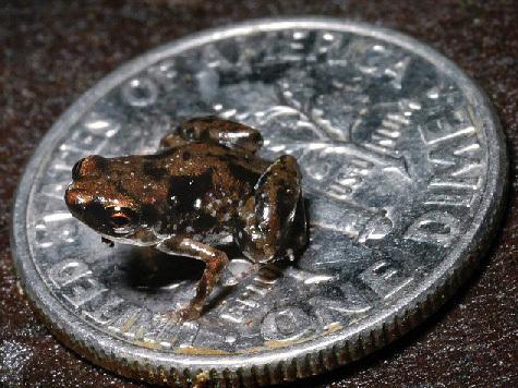 Открыта самая маленькая лягушка на свете
