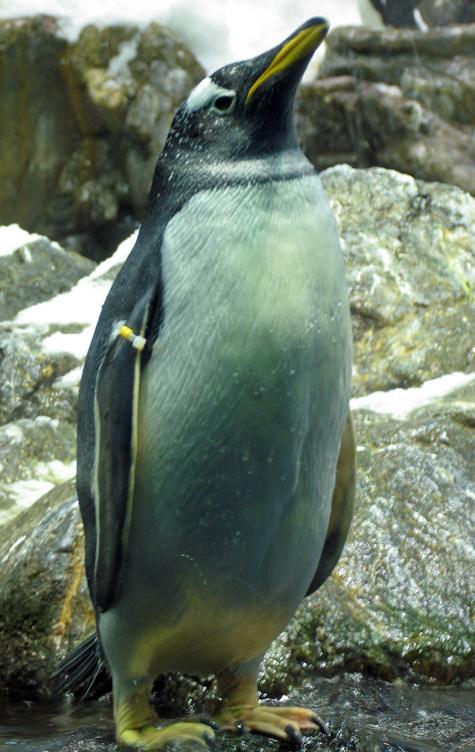 Туристы украли пингвина из австралийского зоопарка