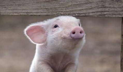 В Иловлинском районе Волгоградской области избавляются от свиней из-за вируса АЧС