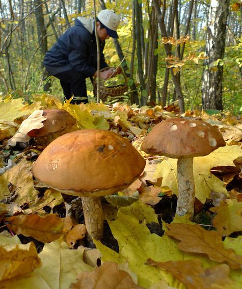 Любовь к отеческим грибам