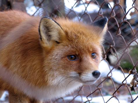 Бешеные лисы атаковали Зеленоград