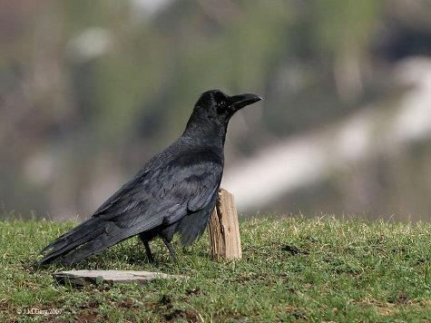 Вороны умеют считать символы