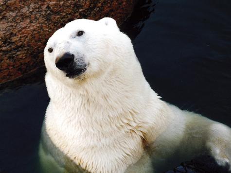 Арктика без снега станет капризной
