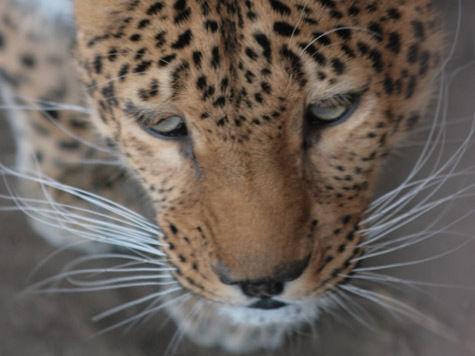 Леопарда заставили напасть на ребенка кошки?