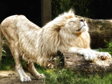 Сине-белый лев Путин