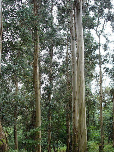 Ученые обнаружили, что на деревьях золото растет в самом прямом смысле