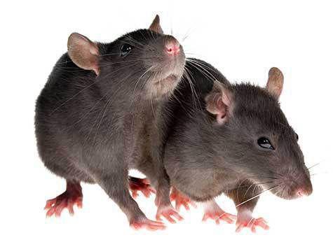 китай мясо крысы