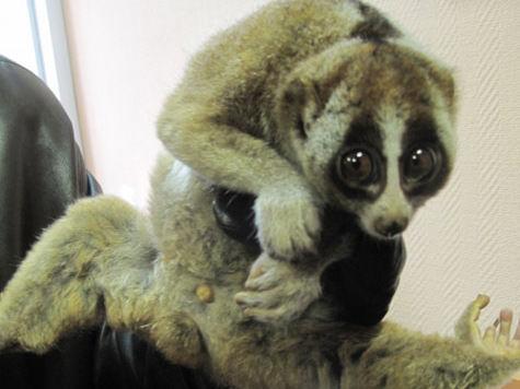 Задержанный за продажу лемура москвич признался, что торговал этими зверями и раньше