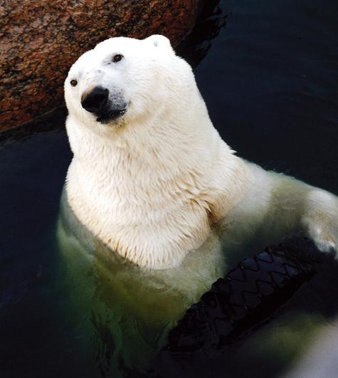 Зоологи упали в ноги полярному мишке