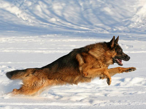 ...фотографии собак со всего света. фотосъемка собак. немецкая овчарка.