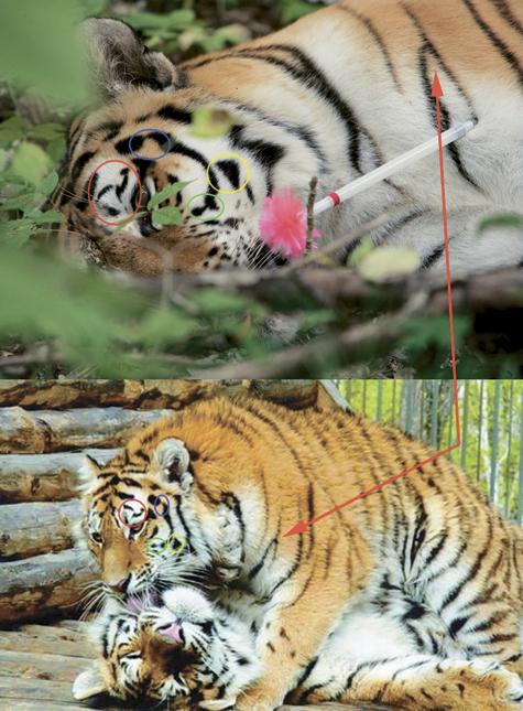 Путина обвинили еще и в «подставе с тигрицей»
