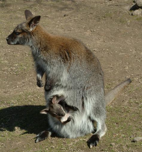 Столичных кенгуру потеснили мини-собратья