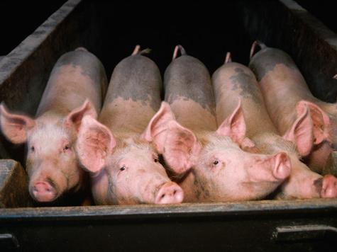 В день выборов памятнику подложили свинью