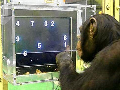 Одаренная обезьяна смогла победить людей в интеллектуальной игре