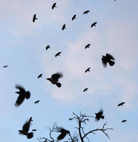 В аэропортах птиц разгоняют криками умирающих сородичей
