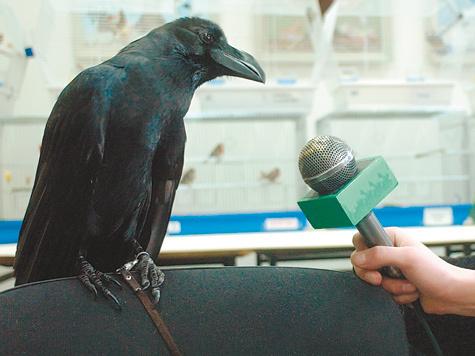 Вороны-москвички умнее иных людей