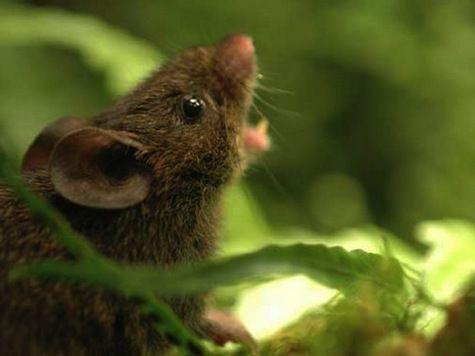 Мыши метят свою территорию голосом