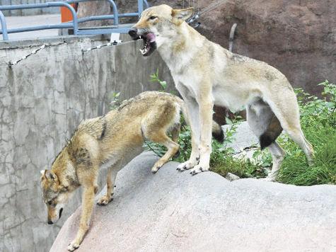 Лисы больше небудут исполнять роль волков