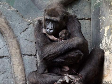 Самец гориллы в зоопарке стал многодетным отцом