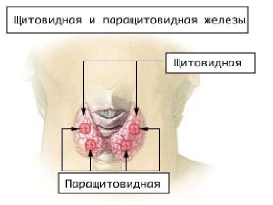 Щитовидная железа влияет на социальные отношения
