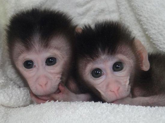Получены первые в истории науки генно-модифицированные обезьяны