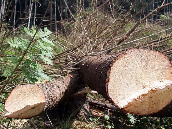 Красногорск охватила массовая вырубка деревьев