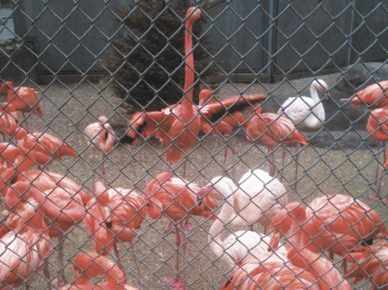 В Московском зоопарке фламинго спасают от ожирения