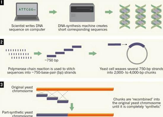 Ученые создали искусственную хромосому и подошли к разгадке жизни