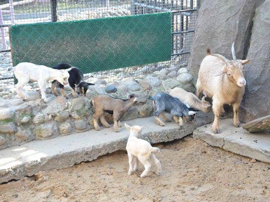 В вопросах размножения маленькие овцы стараются не отставать от больших коз